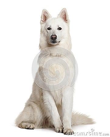 Free Swiss Shepherd Dog, 3 Years, Sitting Stock Photo - 15358530