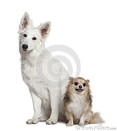 Free Swiss Shepherd Dog And Chihuahua Royalty Free Stock Image - 15126096
