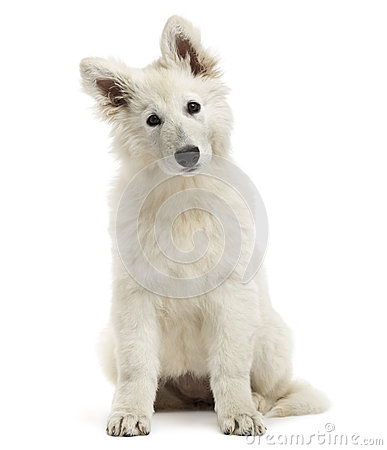 Free Swiss Shepherd Dog Puppy Sitting, Looking At The Camera Stock Images - 36784404