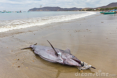 Swordfish on beach, Ecuador