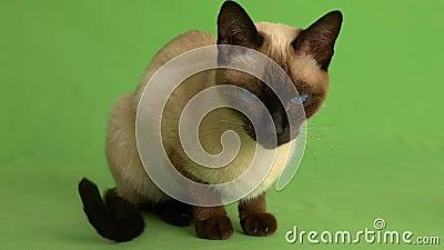 Syjamski kot patrzeje wokoło na zieleń ekranie folował strzał zbiory wideo