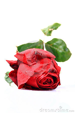 Symbol of love red rose