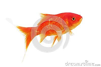 symbole du poisson rouge de richesse sur un fond blanc photo stock image 65044177. Black Bedroom Furniture Sets. Home Design Ideas