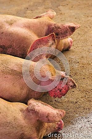 symmetry in pigs