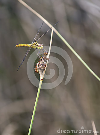 Sympetrum meridionale - Southern Darter (male)