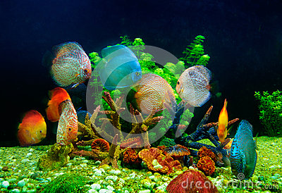 Symphysodon discus and corals in an aquarium