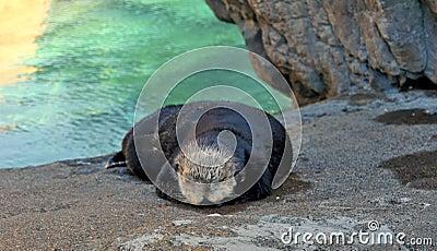 Sypialna wydra