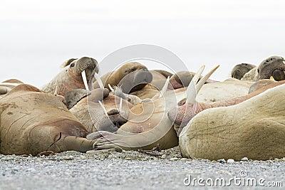 Sypialni Walruses