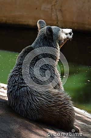 Syrian bear sits up
