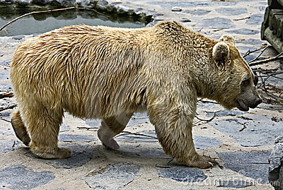 Syrian brown bear 13