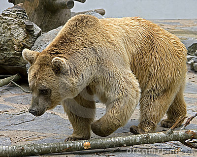 Syrian brown bear 14