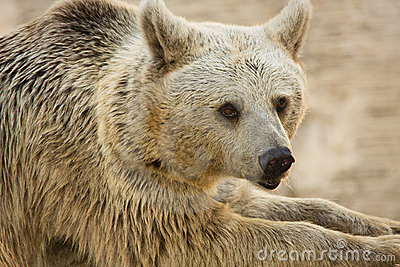 Syrian Brown Bear portrait