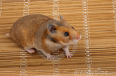 Syrian Hamster, Goldhamster (Mesocricetus auratus)