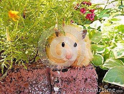 Syrian hamster in spring garden among flowers