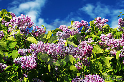 Syringa (Lilac) sp. flowers