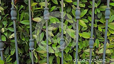 Système de portes automatisées. Arrière-plan de couverture. Clôture ou limite verte formée par des arbustes ou arbustes à fo banque de vidéos