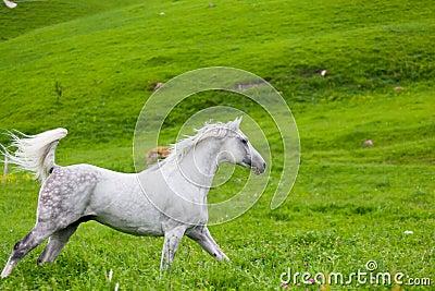 Szary Arabski koń