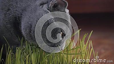 Szary Brytyjski kot je ?wie?ej zielonej trawy Kot trawa w garnku jest naturalnym traktowaniem dla hairball zbiory wideo