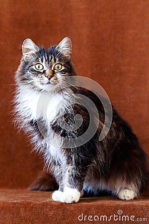 Szary kot z dużymi oczami