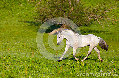 Szarzy Arabscy koni cwał