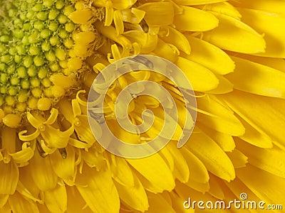 Szczegółu macro słonecznik