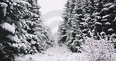 Szczegóły zadziwiający las z udziałami choinka pełno zakrywający śnieg w ciężkim zima dniu zbiory