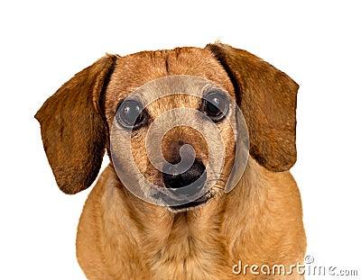 Szczeniaka pies Patrzeje Ciebie