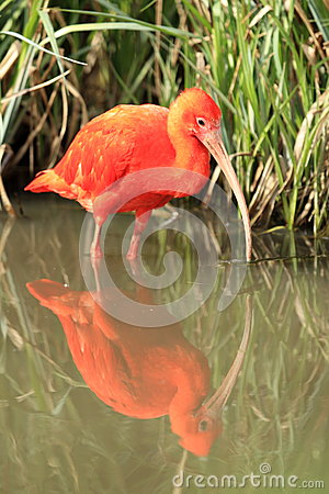 Szkarłatny ibis