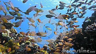 Szkoła ryba Vanikoro wymiatacz pływa blisko rafy koralowa w Czerwonym morzu Egipt zbiory wideo