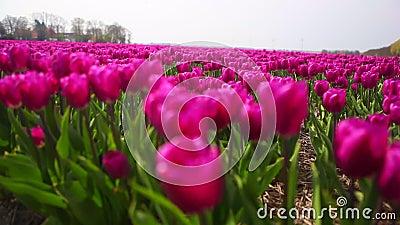 Tätt upp att beskåda de rosa tulpangungorna i vinden i färgrikt tulpanfält arkivfilmer