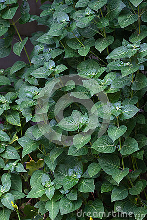 Tła obfitolistny zielony
