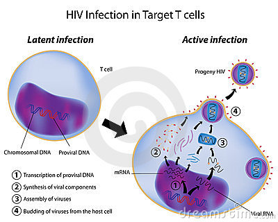 T cell infection by HIV