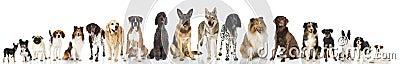 imagine stock despre  rasa câini