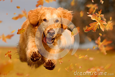 stock image of  dog, golden retriever jumping through autumn leaves