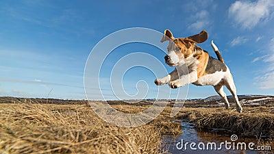 imagine stock despre  câine sărituri peste apă