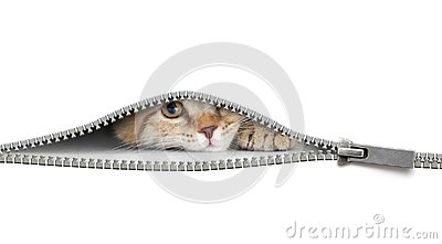 stock image of  funny cat behind open zipper isolated on white