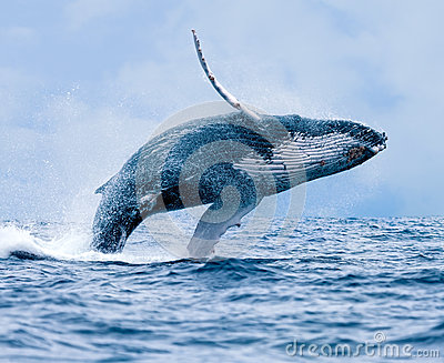 stock image of  humpback whale breaching