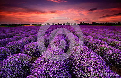 stock image of  lavender field at sunset