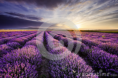 stock image of  lavender sunrise