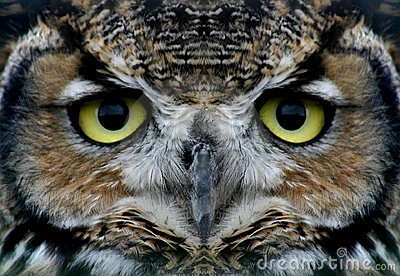 stock image of  owl