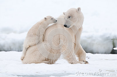 stock image of  polar bear with cub
