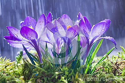 stock image of  spring flowers of blue crocuses in drops of water on the background of tracks of rain drops