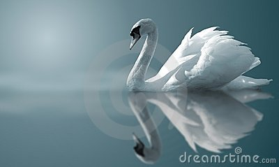 stock image of  swan reflections