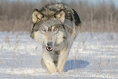 stock image of  timber wolf