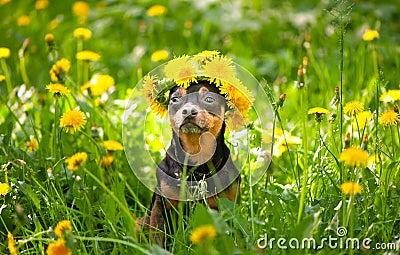 imagine stock despre  câine cununa primăvară flori referitor un înflorire