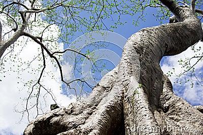 Ta Prohm Tree