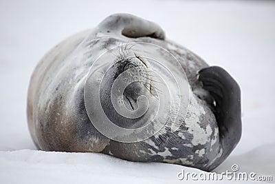 Ta sig en tupplur skyddsremsaweddell för Antarktis