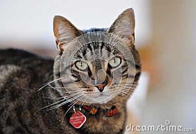 Tabby кота