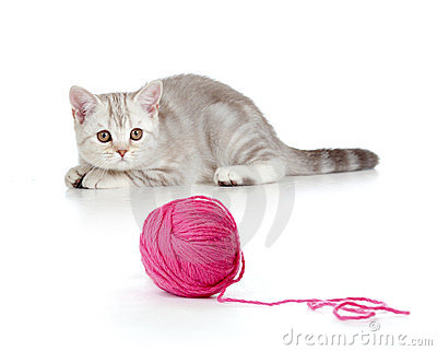 Tabby british kitten playing red clew or ball