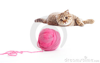 Tabby british kitten playing red clew isolated